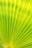 Green texture of palm leaf. Royalty Free Stock Photos