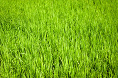Green texture of rice field Stock Photo