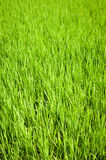 Green texture of rice field. South India Royalty Free Stock Photography