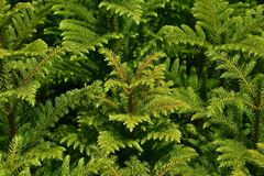 Green texture of young pine trees. A top view of dense plantation of pine saplings Royalty Free Stock Images