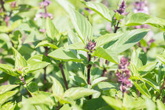 Green thai basil in garden. Royalty Free Stock Image