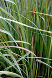 Green thatch grass. The green thatch grass background Royalty Free Stock Photos