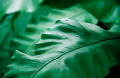 Green thick leaves. Tropical palm plant, green thick leaves, background out of focus Stock Photography