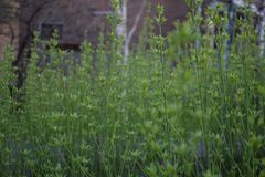 Green plants thin growing stright. Green thin plants in a garden growing straight up. tender green plants Royalty Free Stock Image