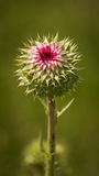Green Thistle Stock Photography