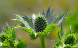 Green thistles. Close up photo of green thistles royalty free stock photo