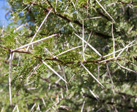 Green Thorn bush with long white thorns Royalty Free Stock Photo