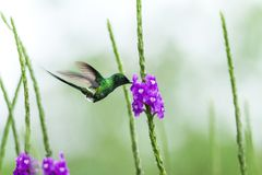 Green thorntail hovering next to violet flower, bird from mountain tropical forest, Costa Rica, tiny beautiful hummingbird. In natural environment with violet stock image