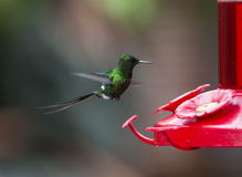 Green Thorntail Hummingbird Royalty Free Stock Images