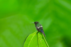 Green Thorntail Hummingbird, Male stock photo