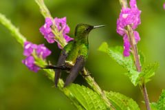 Green Thorntail perched on verbena flowers. Ecuador Royalty Free Stock Photos