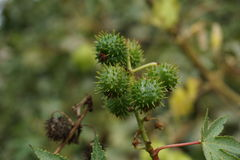 Green thorny strobile Stock Photography
