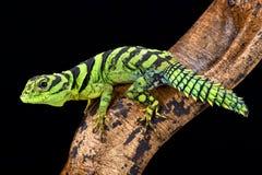 Green thornytail iguana, Uracentron azureum, Suriname. The green thornytail iguana, Uracentron azureum, is a rarely seen tree top dwelling lizard species found Stock Photo