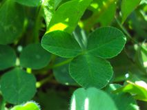 Green three-leaf clover in the summer sun stock image