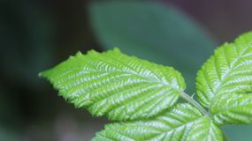 A green three leaves. Summer 2018. A big size of leaves in small green garden. 2018 Summer time royalty free stock photography