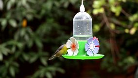 Green Throat Hummingbird and other. Feeding in a drinking trough stock footage