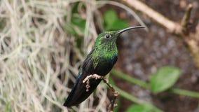 Green-Throated Carib Hummingbird. The Green-Throated Carib Hummingbird (Eulampis Holosericeus stock footage