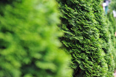 Green thuja Royalty Free Stock Images