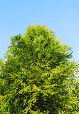 Green thuja Stock Images