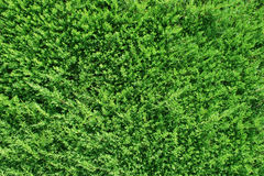 Green Thuja  Background Stock Image
