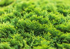 Free Green Thuja Bush Stock Photos - 123756513