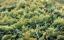 Green thuja bush royalty free stock photo