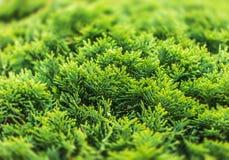 Green thuja bush. Close up of a branch of thuja tree stock photos