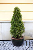 Green thuja Stock Image