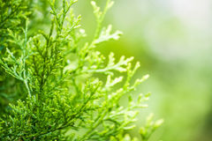 Green thuja Royalty Free Stock Image