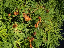 Green Thuja with cones stock image