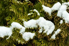 Green Thuja Coniferous tree Cupressaceae arborvitaes cedar close up branches covered with snow in the winter season close up nat royalty free stock photos