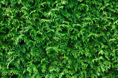 Green Thuja Hedge Background Stock Photo