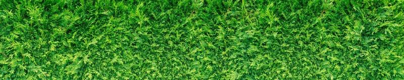Green thuja hedge stock image