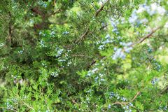 Green thuja or juniper tree branches wis berries background close up.  stock photos