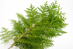 Green thuja leaf on white background. Photo of Green thuja leaf on white background Stock Images