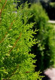 Green Thuja orientalis Royalty Free Stock Image