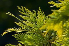 Green thuja in the park Stock Photography