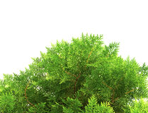 Green thuja, thuya isolated on white background Stock Photos
