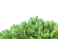 Green thuja, thuya isolated on white background Stock Photography