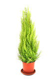 Green thuja tree. As christmas object isolated on the white background Royalty Free Stock Photo
