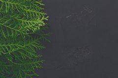 Green thuja tree branches on black background. Green thuja tree branches frame on black background. Natural needles backdrop, bright evergreen texture, copy Royalty Free Stock Photography