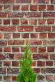 Green thuja tree on old red brick wall background Stock Images