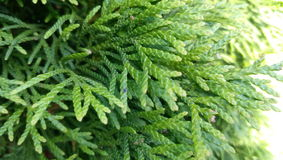 Green thuja. Tree with tiny leaves Royalty Free Stock Photo