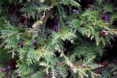 Thuja branches in park. Close up. royalty free stock images