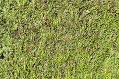 Green thujahecke, symbol photo for privacy Stock Photos