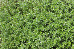 Green thyme background Stock Photos