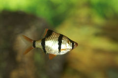 Green Tiger Barb  703935 Royalty Free Stock Photography