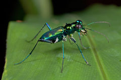 A green tiger beetle Royalty Free Stock Photography