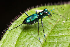 Green tiger beetle Royalty Free Stock Photography