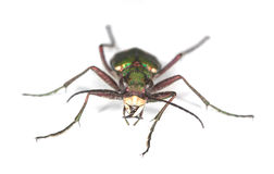 Green tiger beetle. Stock Image